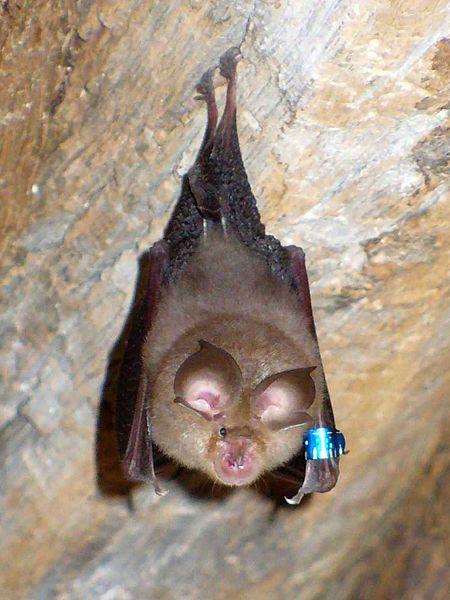 450px-Bat(20070605)