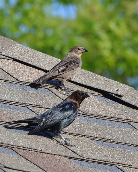 481px-Brown-Headed_Cowbird_Couple