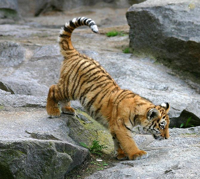 670px-Tiger_berlin-1