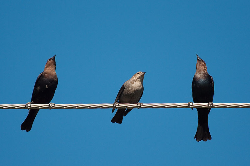 800px-Brown-headed_cowbirds_6419