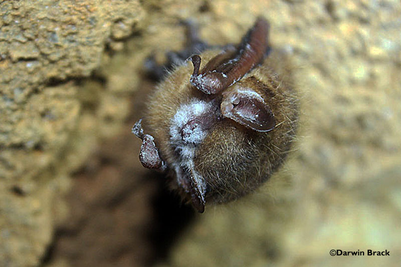 800px-Tri-colored_bat_with_visible_WNS_symptom_(8622566648)
