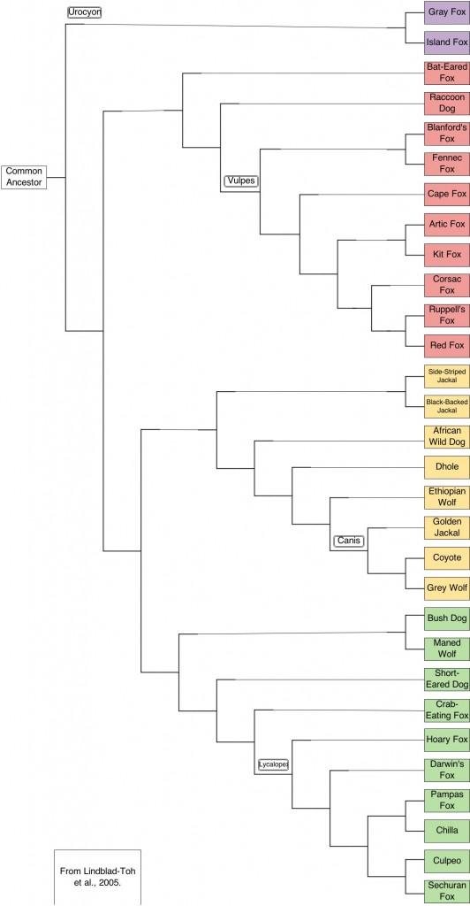 canidphylogeny