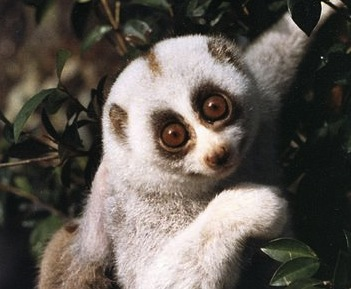 Slow loris. (Photo by Helena Snyder.)
