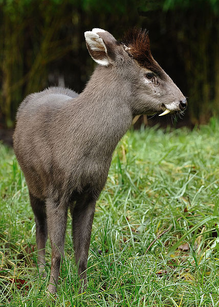Tufted deer. (Source.)
