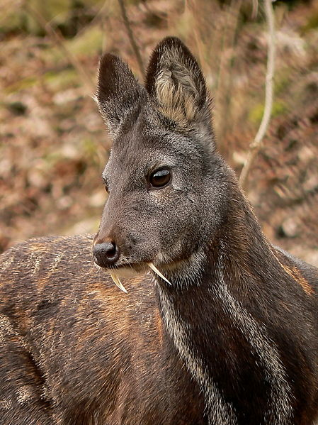 Siberian musk deer. (Source.)