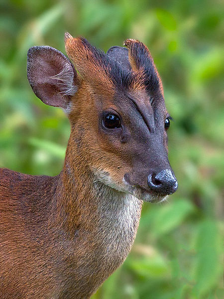 Indian muntjac. (Source.)