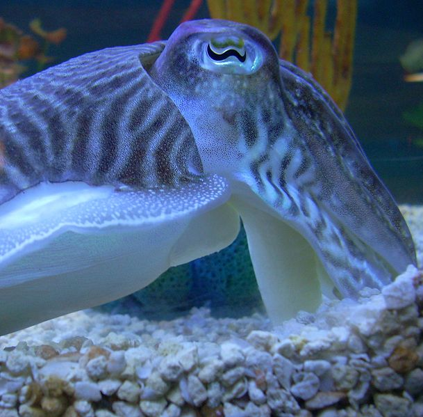 609px-Cuttlefishhead.jpg