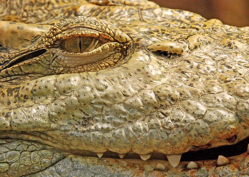 800px-Crocodylus_siamensis_closeup