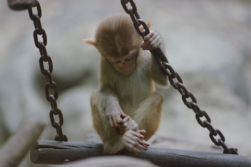 Juvenile rhesus macaque at the Beijing zoo. (Not Peanut.) Source.