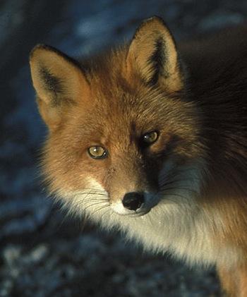 Red fox.