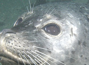 Harbor_Seal,_Point_Lobos