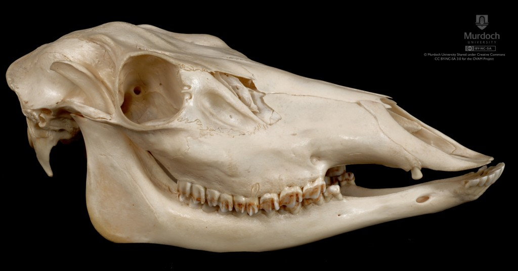 Skull of a red deer showing drastically reduced canines. (Source.) Even in this species, canines are noticeably larger in males than females. However, many deer species have lost their canines altogether.