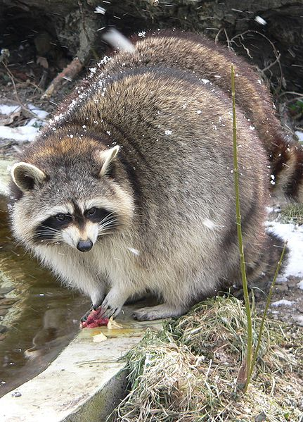 American raccoon. (Photo source.) I find the best way to tell the difference between these guys and raccoon dogs is that raccoons have very prominent whiskers and slender paws, while raccoon dogs have small whiskers and lil' dog paws.
