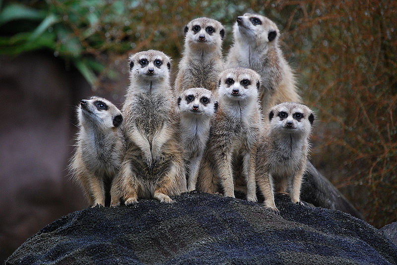 """Suricata suricatta -Auckland Zoo -group-8a"" by Ashleigh Thompson - originally posted to Flickr as Meerkats. Licensed under CC BY 2.0 via The meerkat is one of the most familiar social mongoose species, but not the only one.Wikimedia Commons."