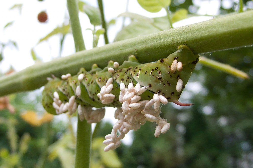 The wasp leaves the caterpillar with a few special, hungry friends. (Photo by)