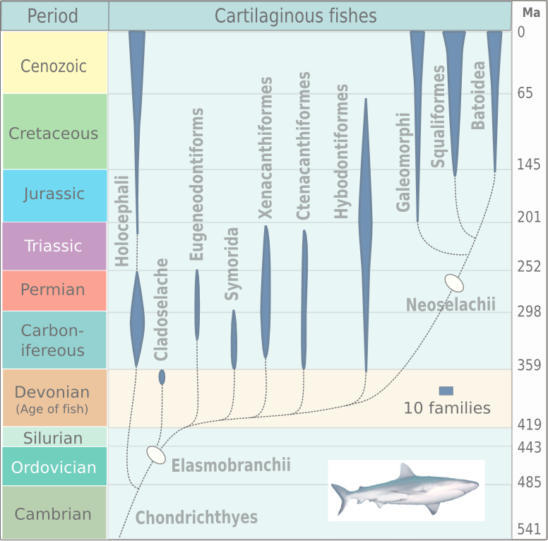 Evolution_of_cartilaginous_fishes