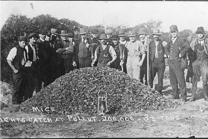Australian farmers pose behind a massive pile of poisoned mice in 1917.