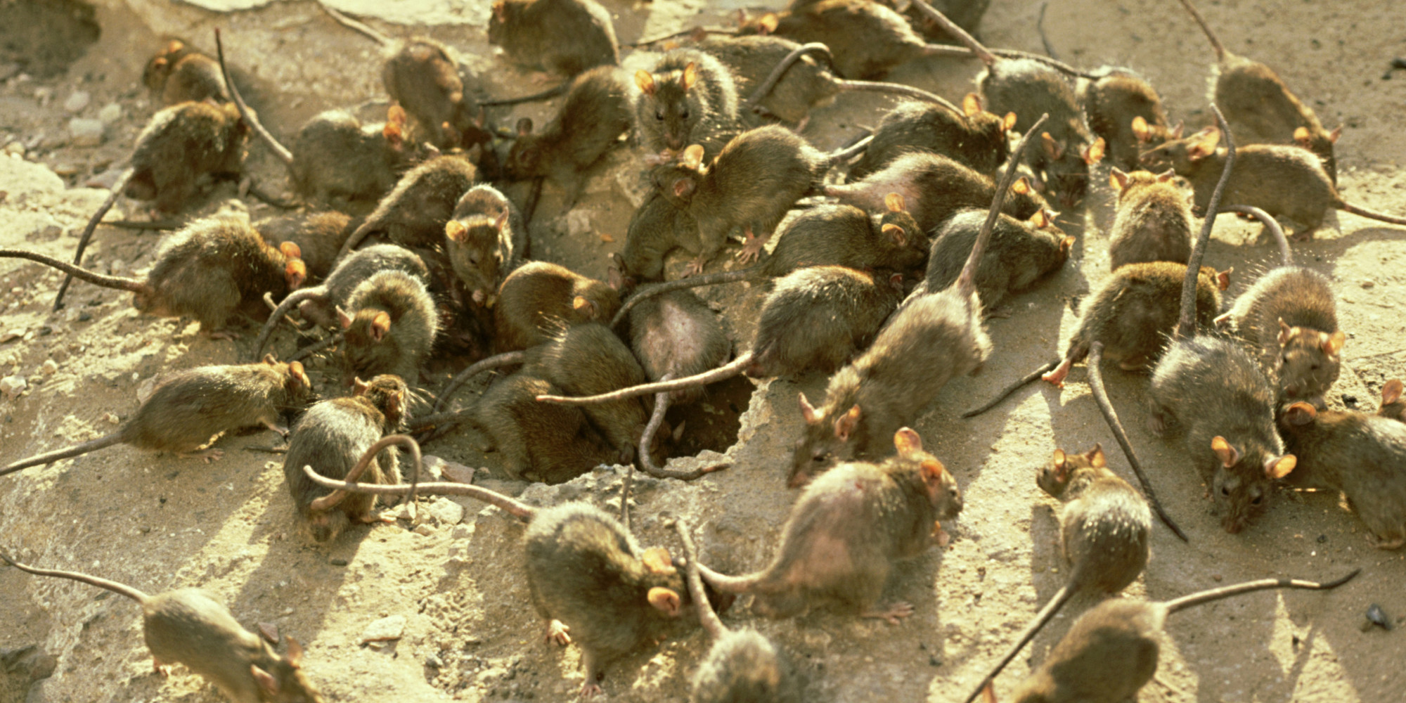 Image result for horde of rats