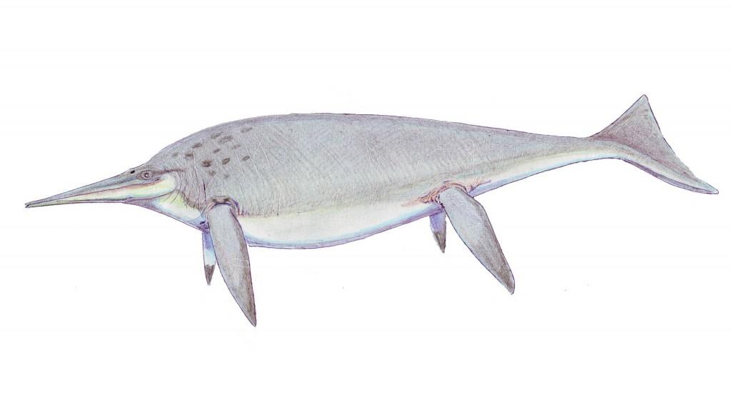 "Shonisaurus, a more advanced ""dolphinlike"" ichthyosaur. (Art by Nobu Tamura.)"