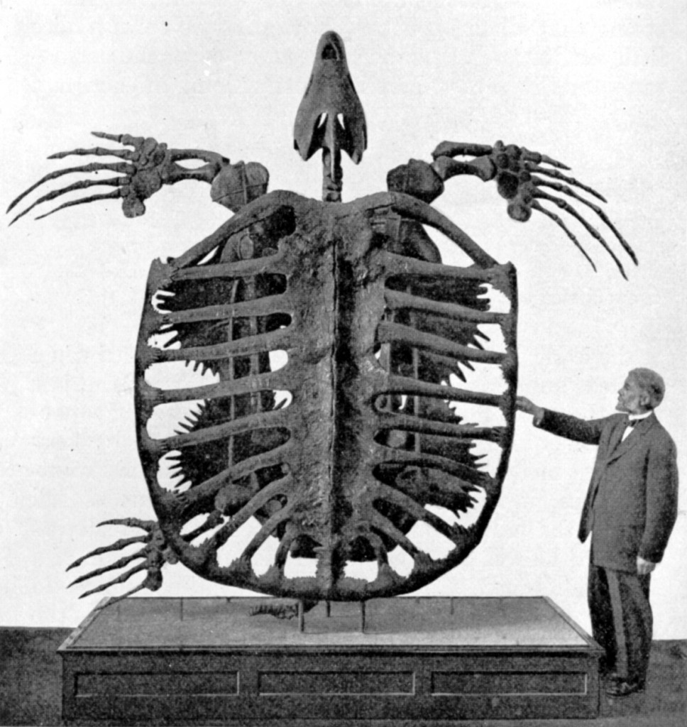 Man stands next to Archelon skeleton in the Yale Peabody museum.