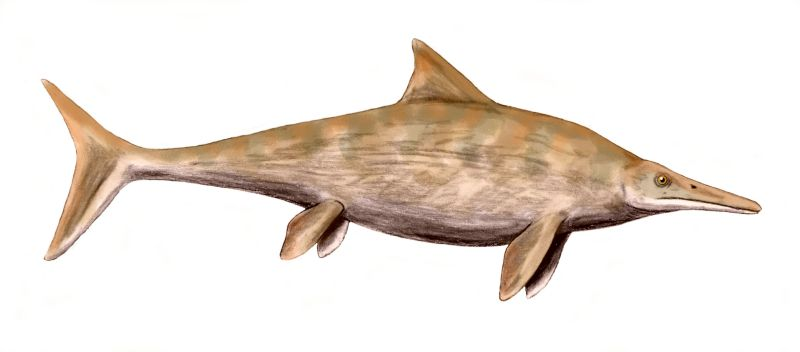 Stenopterygius was a typical Jurassic ichthyosaur.