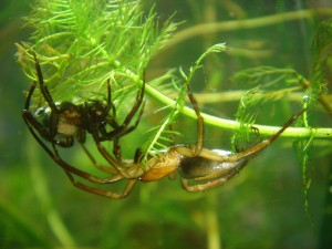 Male and female diving bell spiders. (Photo source.)