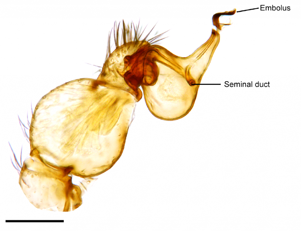 A close-up of the pedipalp of a goblin spider (the scientific name of which is, I shit you not, Unicorn catleyi.)