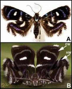 A moth (B. hexaselena) mimics a jumping spider predator (P. formosa).