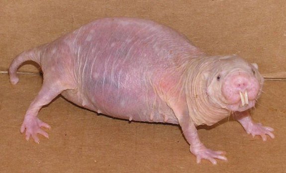 I'm putting an image of a naked mole rat here because INBREEDING.