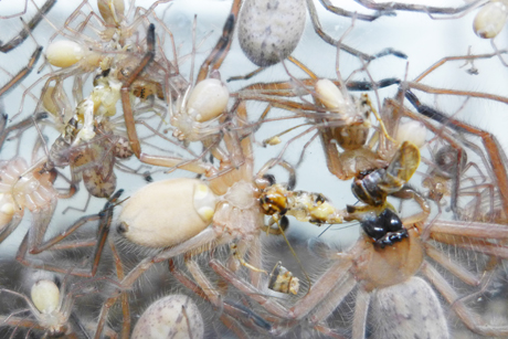 Flat huntsman spiders from different broods sharing a tasty cricket. (Photo by Linda Rayor.)