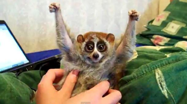 As cute as it seems, this slow loris is actually exhibiting a defensive posture.