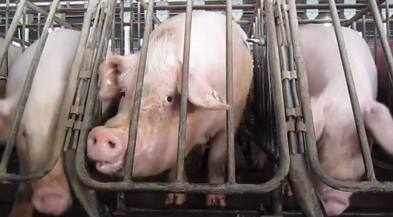 Sows in gestation crates, where they will stay for the four-month duration of their pregnancies. (Photo source. CC BY-SA 3.0.)