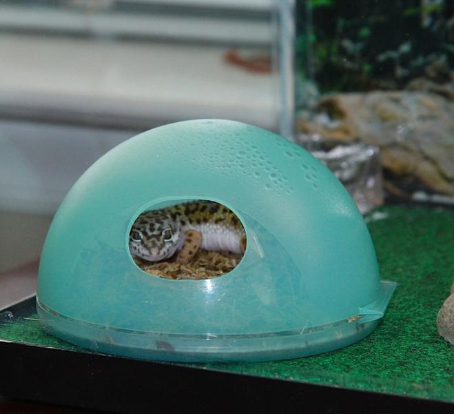 A leopard gecko enjoying this humidity hide. (Photo source.)
