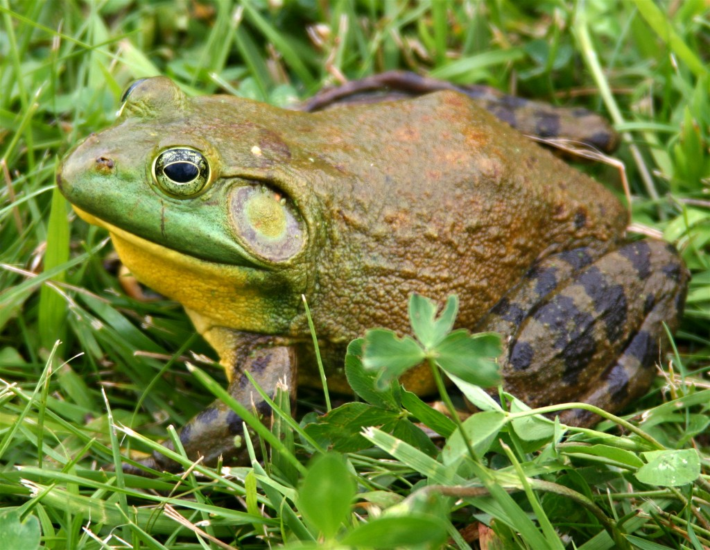 "Frogs appear not to have ears, but actually use the circular timpanic membranes located behind their eyes to hear with. ""North-American-bullfrog1"" by Carl D. Howe - Carl D. Howe, Stow, MA USA. Licensed under CC BY-SA 2.5 via Commons - https://commons.wikimedia.org/wiki/File:North-American-bullfrog1.jpg#/media/File:North-American-bullfrog1.jpg"