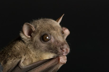 An Egyptian fruit bat (Rousettus aegyptiacus) at the Omaha Zoo, Omaha, Nebraska. (Image ID: ANI062-00045)
