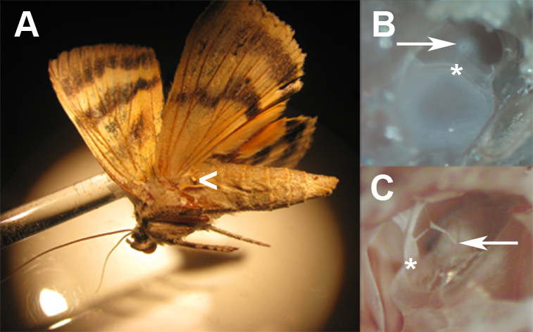 In a surprising twist, moth ears evolved on their waists (thorax). In an even more surprising twist, tiny ear mites have evolved to attack the moth's tiny ears.
