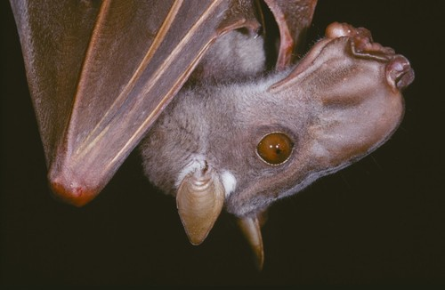 Male hammerhead bats, which are non-echolocating Pteropodids, have enlarged snouts with weird nose flaps used for producing buzzes and honks that are apparently irresistible to females.
