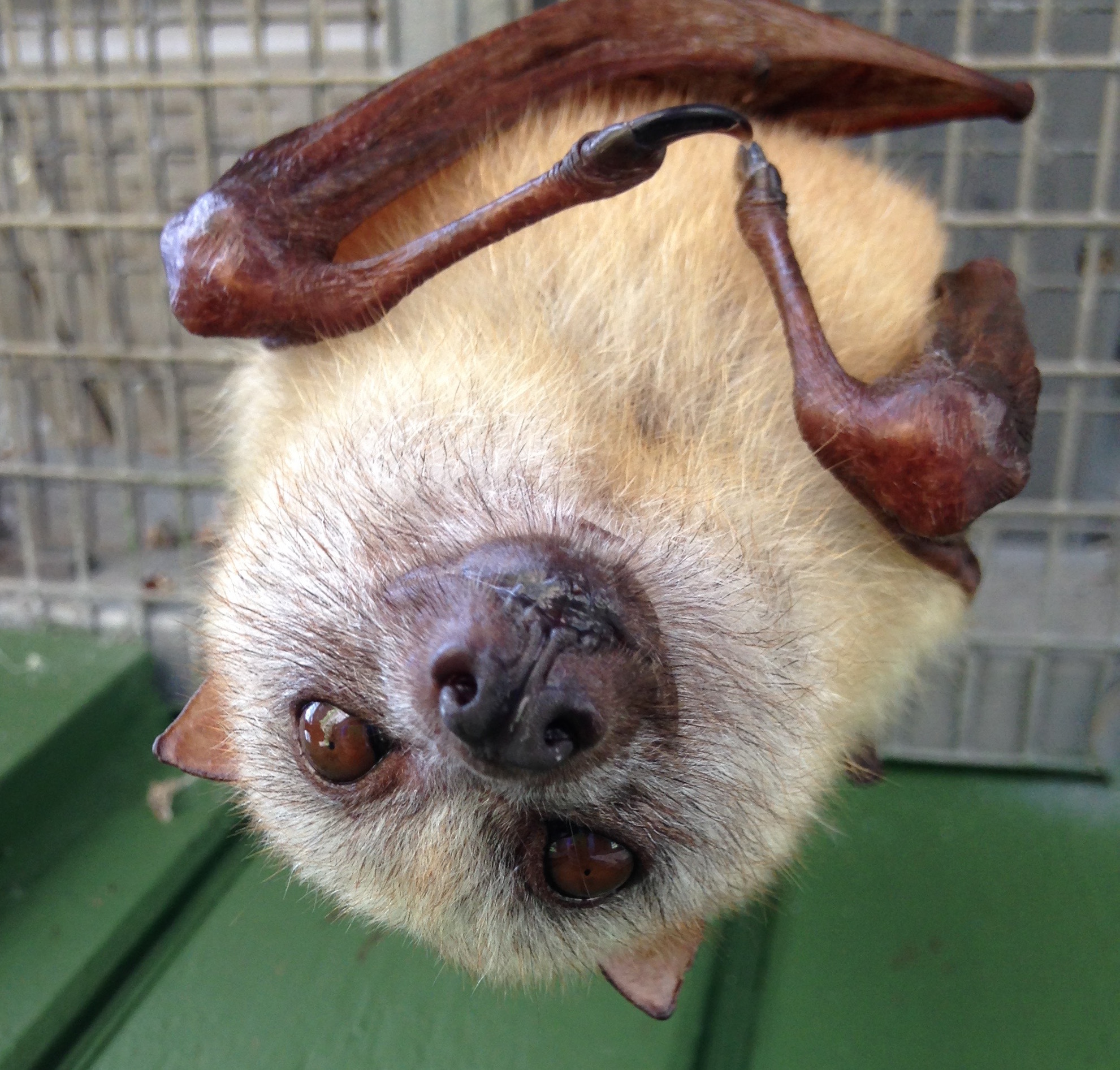 No, Bats Do Not Make Good Pets – Koryos Writes