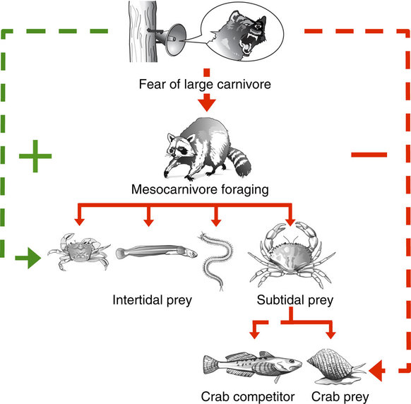 """Diagram illustrating how broadcasting playbacks of large carnivore vocalizations affected multiple lower trophic levels. Green and red arrows represent positive and negative effects, respectively, on foraging, abundance or survival. Solid arrows connect predator and prey; dashed arrows connect species affected, but not directly eaten, by another."" From"